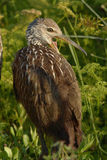A juvenile Limpkin Stock Photos