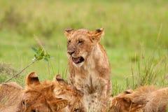 Juvenile Lion Stock Image