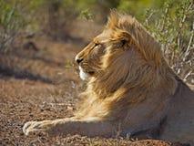Juvenile Lion Royalty Free Stock Photo