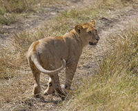 Juvenile lion Stock Image