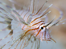Juvenile Lion-fish underwater Royalty Free Stock Images