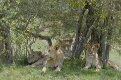 Juvenile lions in the shade. Four juvenile lions (Panthera leo) liyng down in the shade of an acacia tree during daytime, Serengeti national park, Tanzania Royalty Free Stock Photo
