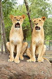Juvenile lions. Two juvenile lions in a reservation in Mauritius Royalty Free Stock Images