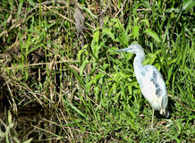 Juvenile Little Blue Heron Stock Photo