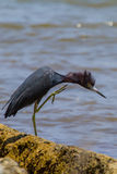 Juvenile Little Blue Heron in attack mode Royalty Free Stock Photography