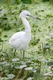 Juvenile Little Blue Heron (Egretta caerulea) Stock Photo