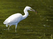 Juvenile Little Blue Heron with fish Royalty Free Stock Photography