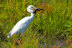 Juvenile Little Blue Heron with frog Royalty Free Stock Photo