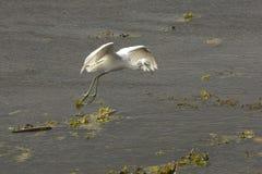 Juvenile little blue heron landing at Orlando Wetlands Park. Stock Photo