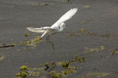 Juvenile little blue heron landing at Orlando Wetlands Park. Royalty Free Stock Photo