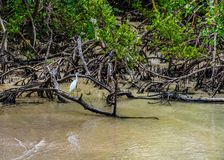 Free Juvenile Little Blue Heron Perched On A Fallen Mangrove Stock Photography - 127940922
