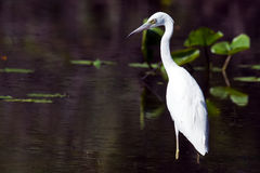 Juvenile Little Blue Heron Stock Image
