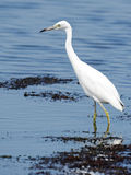Juvenile Little Blue Heron Stock Photography