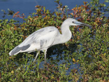 Juvenile Little Blue Heron Wading Stock Photography