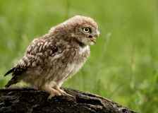 Juvenile Little Owl (Athene noctua) Stock Images