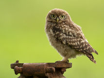 Juvenile Little Owl (Athene noctua) Royalty Free Stock Image