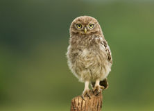 Juvenile Little Owl Athene noctua on a post. Worcestershire, July stock photography