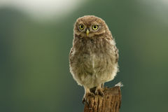 Juvenile Little Owl (Athene noctua) Royalty Free Stock Photo