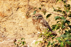 Juvenile little owl 1 Royalty Free Stock Images