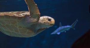 Juvenile loggerhead sea turtle, Caretta caretta Royalty Free Stock Image