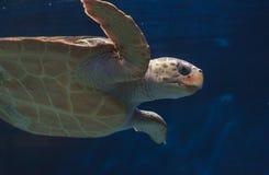 Juvenile loggerhead sea turtle, Caretta caretta Royalty Free Stock Photo