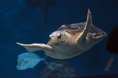 Juvenile loggerhead sea turtle, Caretta caretta Royalty Free Stock Photos