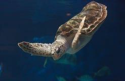 Juvenile loggerhead sea turtle, Caretta caretta Stock Photos