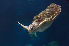 Juvenile loggerhead sea turtle, Caretta caretta Stock Photography