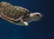 Juvenile loggerhead sea turtle, Caretta caretta Stock Image