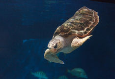 Juvenile loggerhead sea turtle, Caretta caretta Stock Photo