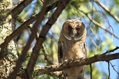 Juvenile long eared owl Royalty Free Stock Photos