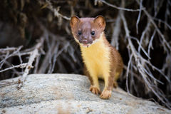 Juvenile Long Tailed weasel. Peering out of rock Royalty Free Stock Photos