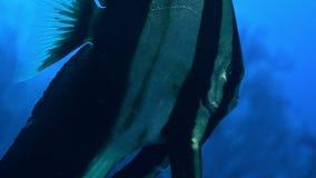 Juvenile Longfin batfish Platax teira,  Nusa Tenggara Barat, Indonesia. Juvenile Longfin batfish Platax teira is swimming in a coral reef,  Nusa Tenggara Barat stock footage