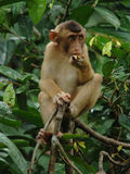 Juvenile macaque monkey eating, borneo,asia Stock Photo
