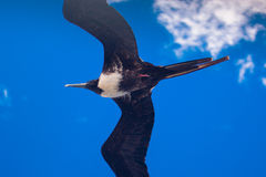 A juvenile magnificent frigate bird flying overhead Stock Photos