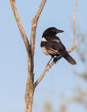 Juvenile Magpie Royalty Free Stock Photos