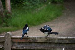 Juvenile magpie demanding food from parent stock photography