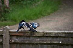 Juvenile magpie being fed by parent on a fence stock image