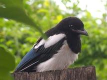 Juvenile Magpie Stock Images