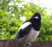 Juvenile Magpie Royalty Free Stock Image