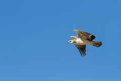 Juvenile majestic martial eagle flying to a nest in blue Kalahari sky royalty free stock image