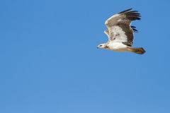 Juvenile majestic martial eagle flying to a nest Royalty Free Stock Image