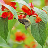 Juvenile male Black-throated Sunbird. Beautiful Sunbird, juvenile male Black-throated Sunbird (Aethopyga saturata), hanging on a branch Royalty Free Stock Image