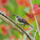 Juvenile male Black-throated Sunbird. Beautiful Sunbird, juvenile male Black-throated Sunbird (Aethopyga saturata), standing on a branch, side profile Royalty Free Stock Photography