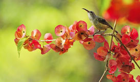 Juvenile male Black-throated Sunbird. Beautiful Sunbird, juvinile male Black-throated Sunbird (Aethopyga saturata), standing on a branch in red environment Stock Photo