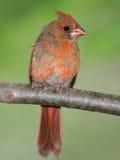 Juvenile Male Cardinal Stock Photos
