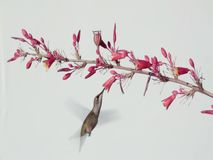 Costa`s hummingbird on a white background stock video