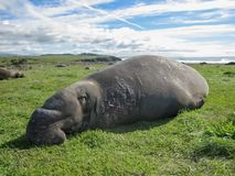 Male Elephant Seal Sleeping on Grass. Juvenile male elephant seal with long nose sleeping on grass near coast of central California Stock Photography