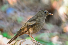 Juvenile male Grey-winged Blackbird Stock Photography