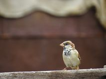 Juvenile Male House Sparrow Royalty Free Stock Photography